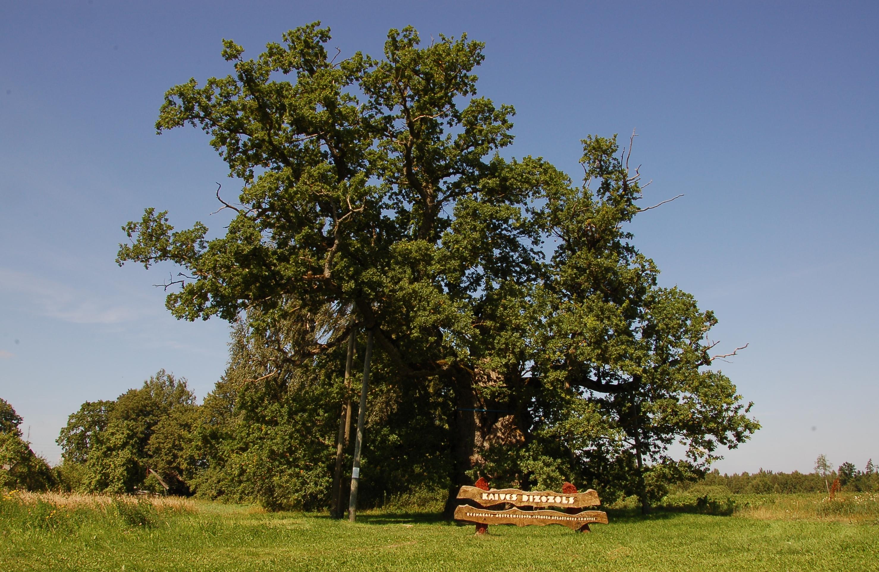 Дуб Кайвес - один из старейших в Латвии. Фото © Dace Balode